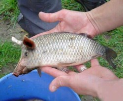 Gambar aneh ikan berkepala babi