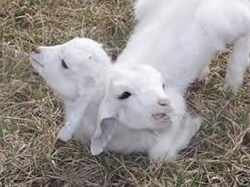 Gambar Aneh tapi nyata kambing kepala dua