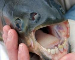 Gambar ikan aneh bergigi manusia